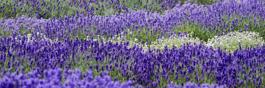 gartenpflanzen lavendel bakizu neue ideen f r haus und garten. Black Bedroom Furniture Sets. Home Design Ideas